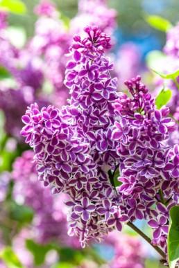 Gartenfotografie Garten Flieder