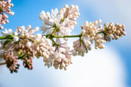 Gartenfotografie Garten Flieder vor blauem Himmel
