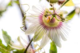 Gartenfotografie Pflanzenportrait Passiflora weiß