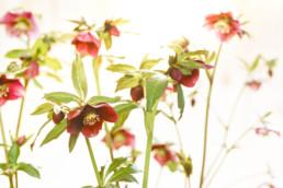 Gartenfotografie Helleborus