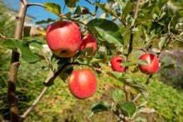 Gartenfotografie Garten mit Äpfel
