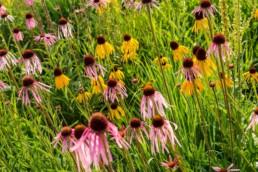 Gartenfotografie Garten Echinacea Sonnenhut Beet