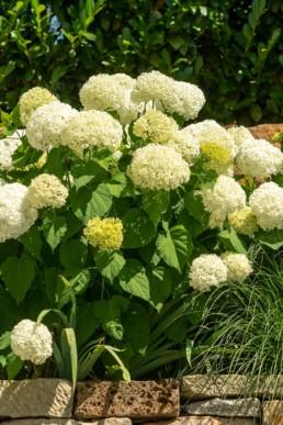 Gartenfotografie Garten Blüte weiße Hortensien