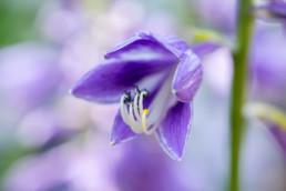 Gartenfotografie Garten Blüte lila