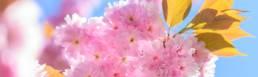Zweig, Kirschblüte, rosa, blauer Himmel