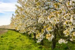 Obstbaumblüte, Apfelbäume, Blüte, Weiß, Altes Land