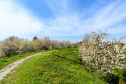 Altes Land, Deich, Weg, Obstbaumblüte, Apfel, weiß