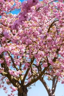 Altes Land, Kirschbaumblüte, rosa